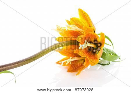Imperial Crown (fritillaria Imperialis) Isolated On White Background