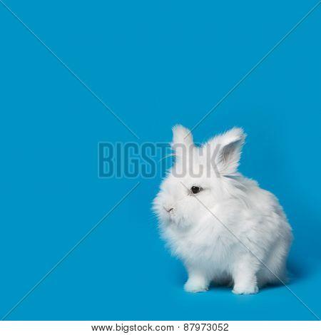 Video of white rabbit on blue screen