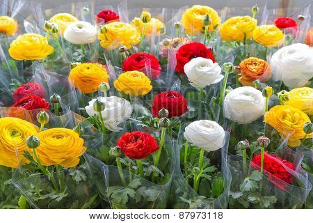 Greenhouse With Colorful Flower Buttercups Wrapped In Plastic Foil