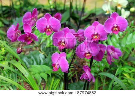 Orchid By Fuchsia Color