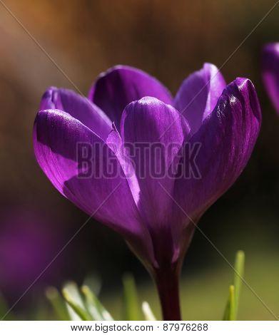 Purple Crocus Flower Macro Closeup