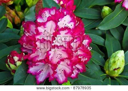 Large pink rhododendron flowers.