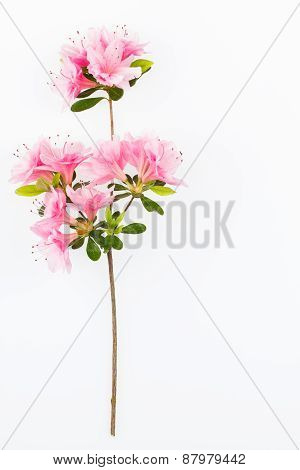 Pink Flowering Azalea Branch