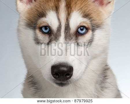 Closeup Siberian Husky Puppy on White