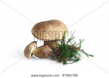 Inedible, bitter Mushroom Tylopilus felleus