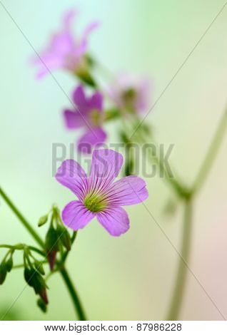 oxalis blooming close up