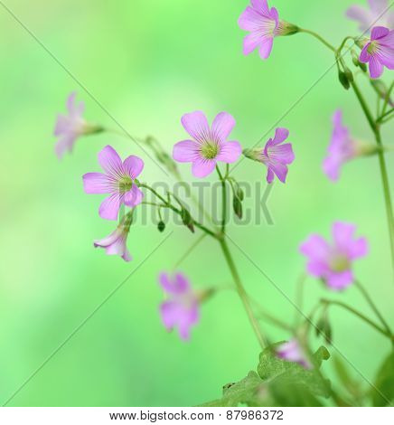 creeping oxalis for background or other purpose use