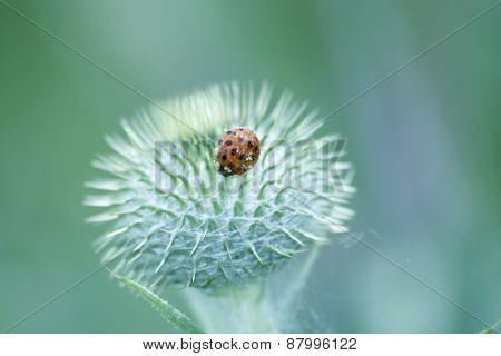 Ladybug on Thorns