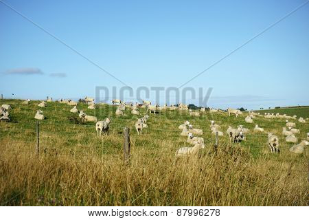 New Zealand farmland with grazing and resting sheep in pasture