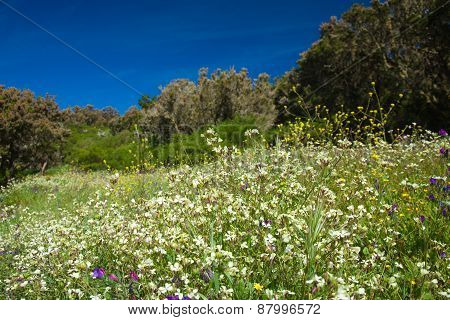 Flowering Meadow On La Gomera