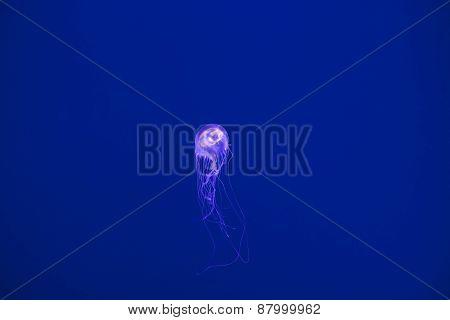 Jellyfish Cnidarea