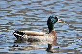 picture of male mallard  - A male mallard duck swimming on a lake - JPG