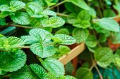 pic of peppermint  - Abstract peppermint leaf in Park macro shot - JPG