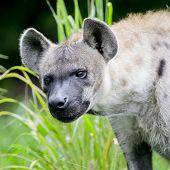 image of hyenas  - Closeup Hyena animal wildlife on green nature background - JPG