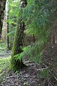 stock photo of coniferous forest  - Coniferous tree branches and trunks of birch trees in a summer forest - JPG
