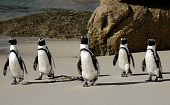 picture of jackass  - African or Jackass penguins crossing a sandy beach - JPG
