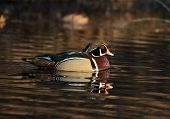 picture of duck pond  - Male wood duck sitting on a small pond in midwest United States - JPG