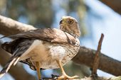 picture of small-hawk  - A cooper - JPG