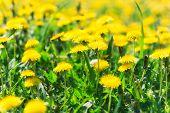 image of dandelion  - Dandelion flowers in spring - JPG
