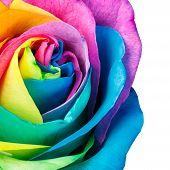 stock photo of rose close up  - Close - JPG