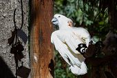 picture of cockatoos  - White cockatoo perched on a branch enjoying the sun at the aviary - JPG