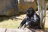 pic of gorilla  - adult western gorilla sitting under a tree for shade - JPG