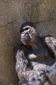 stock photo of gorilla  - adult western gorilla sitting under a shaded rock - JPG