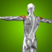 foto of triceps brachii  - Concept or conceptual 3D back human anatomy or anatomical and muscle on green gradient background - JPG