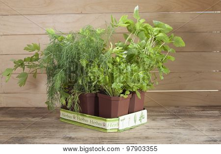 Spicy Potted Plants Grown At Home.