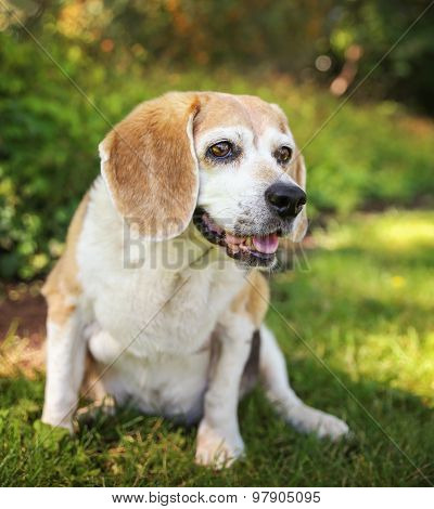 a cute senior beagle looking off in the distance and smiling with her tongue peeking out of her mouth in a park or backyard on fresh green lawn
