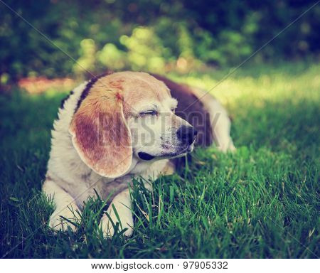 a cute senior beagle smiling with her eyes closed off in the distance in a park or backyard on fresh green lawn toned with a retro vintage instagram filter effect app or action
