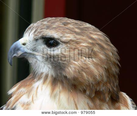 Proud Hawk