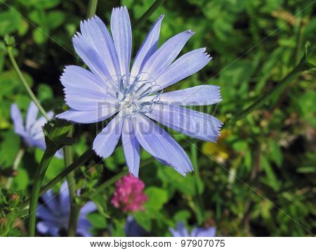 Closeup Of Blue Chicory Flower On A Background Of A Different Field Grass