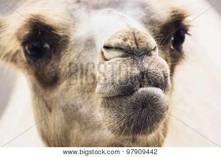 Bactrian Camel Closeup Portrait