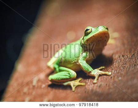 Little Green Frog On The Wooden Plank