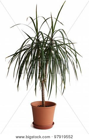 Dracaena plant in pot isolated on white background