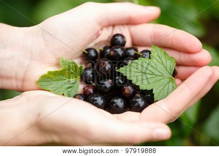 Blackcurrant Picking