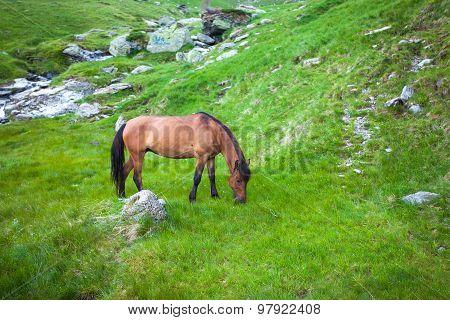 Wild Brown Horse Feeding On Fagaras Mountain, Romania
