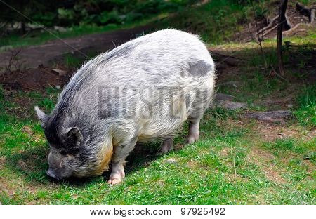Grey Hairy Big Pig On Green Grass