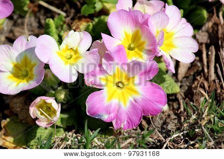 Purple, Yellow And White Primulas