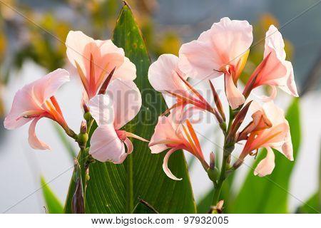 canna lily flower in garden at Thailand