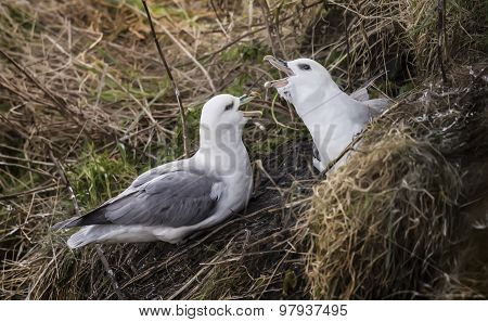 Fulmar, Fulmarus, taking part in a mating ritual