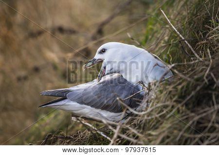 Fulmar Fulmarus glacialis squawking