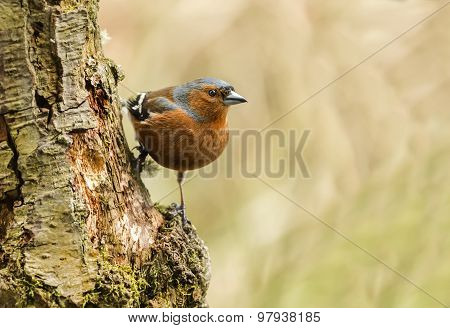 Chaffinch Fringilla coelebs perched on the side of a tree
