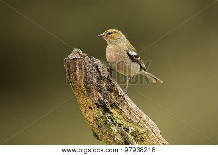 Chaffinch Fringilla coelebs perched on a branch