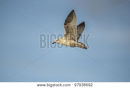 Herring gull Larus argentatus flying in a blue sky