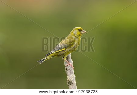 Greenfinch Carduelis chloris on a branch