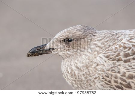 Herring gull Larus argentatus juvenile portrait close up