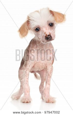 Surprised Chinese Crested Puppy
