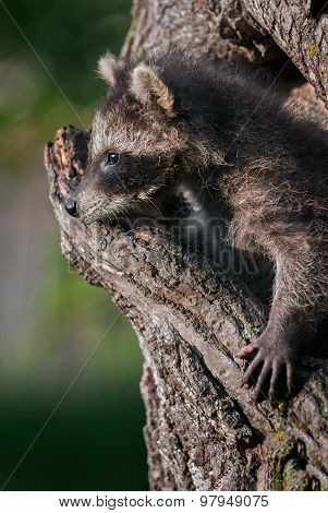 Young Raccoon (procyon Lotor) Looks Out Of Hole In Tree